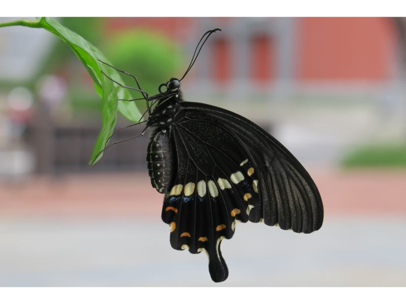【玉帶鳳蝶Papilio polytes polytes】