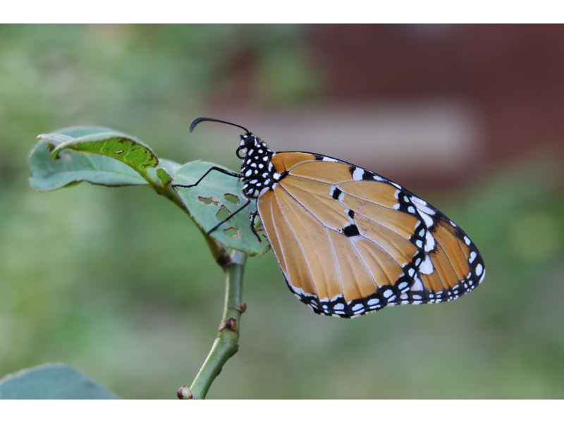 【樺斑蝶(金斑蝶)Danaus chrysippus】