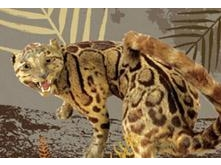 The Brave Fighter-Formosan Clouded Leopard