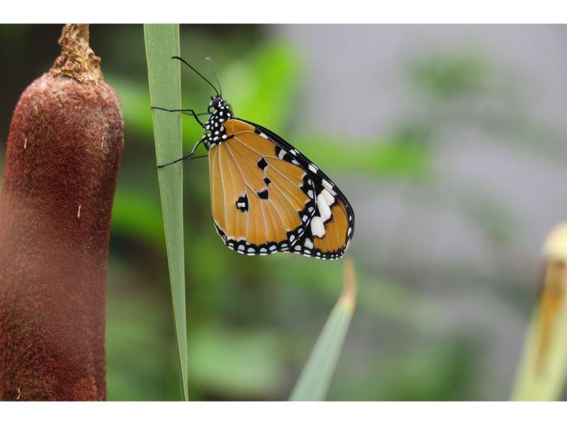 【香蒲上的樺斑蝶】