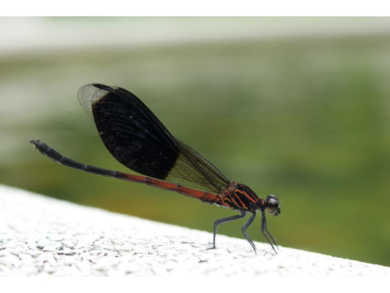 【短腹幽蟌Euphaea formosa】(臺灣特有種)