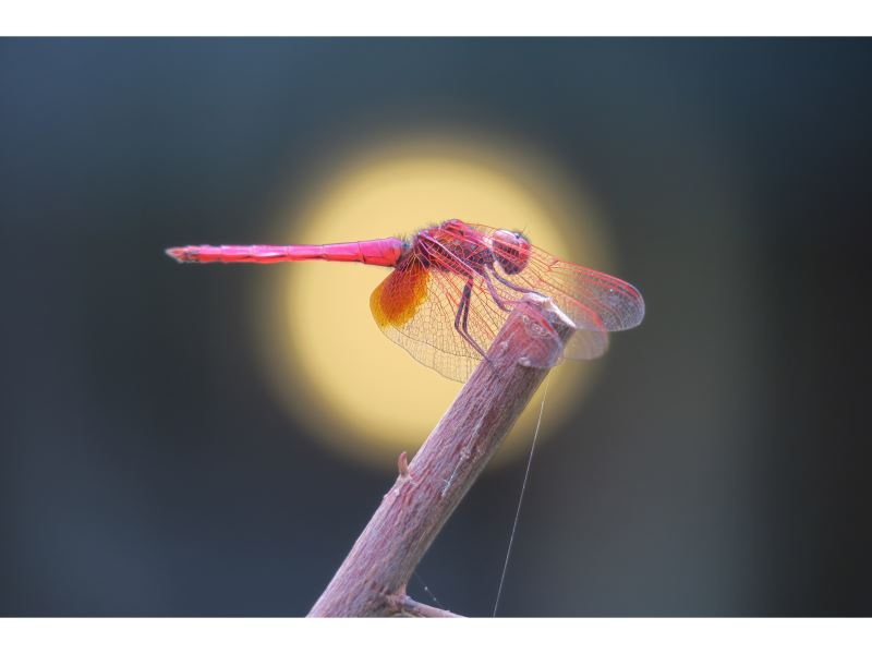【紫紅蜻蜓】(雄)