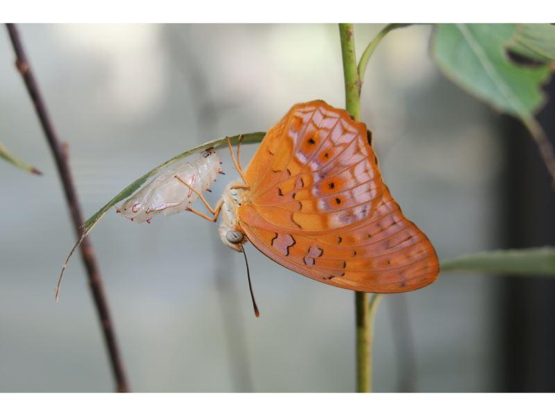 【琺蛺蝶(紅擬豹斑蝶)Phalanta phalantha】