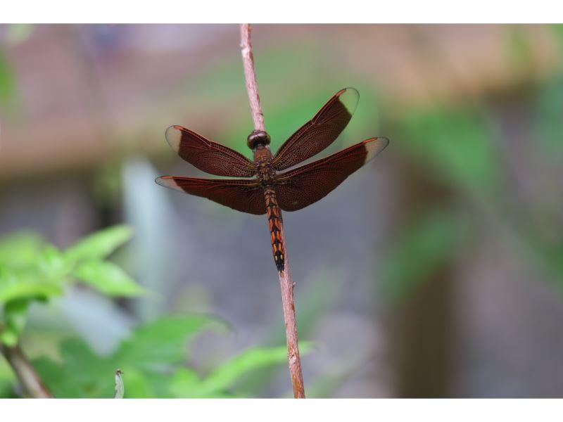 【善變蜻蜓】