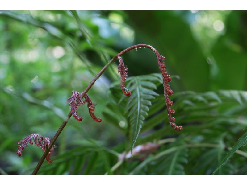 【東方狗脊蕨Woodwardia orientalis】