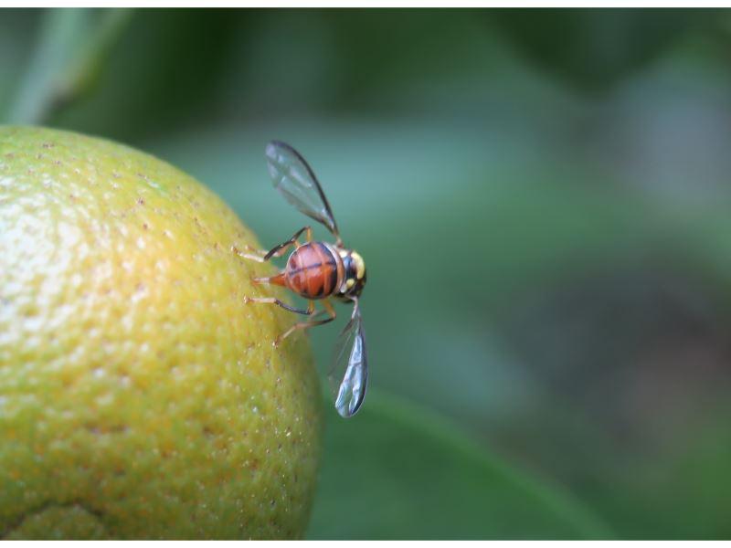 【果實蠅產卵於金橘果實】