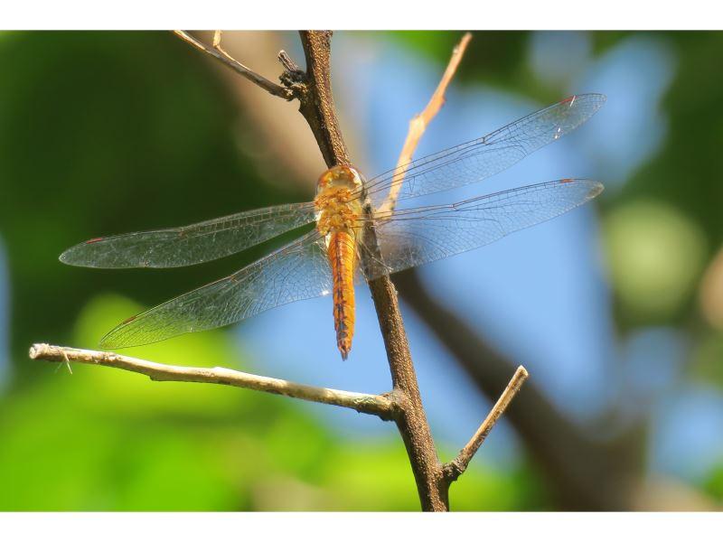 【薄翅蜻蜓Pantala flavescens】