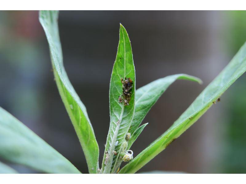【偽裝的食蚜蠅幼蟲】