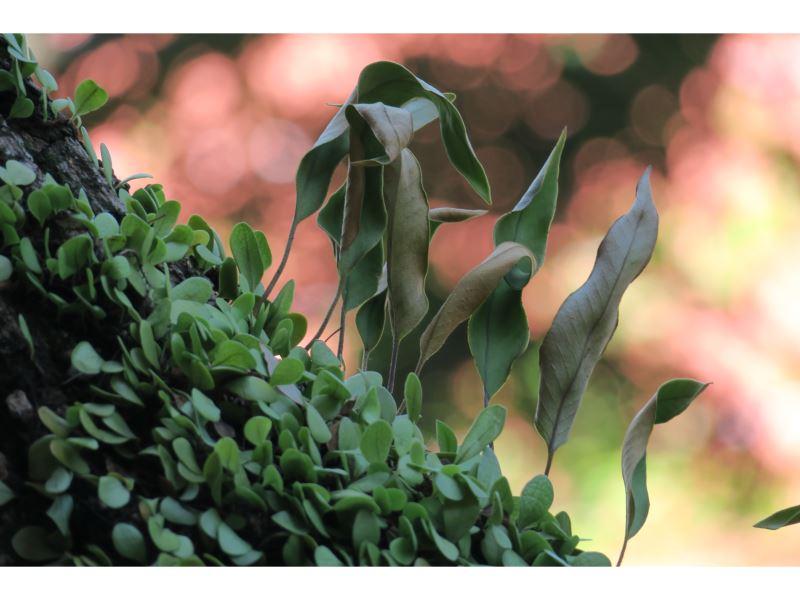 【石葦及伏石蕨】