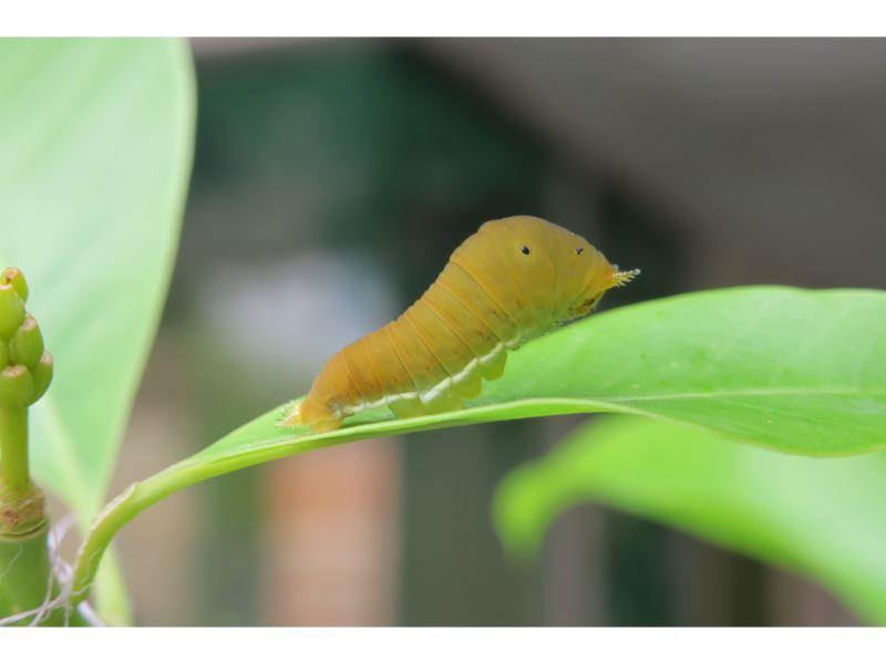 【木蘭青鳳蝶(青斑鳳蝶)Graphium doson postianus】(幼)