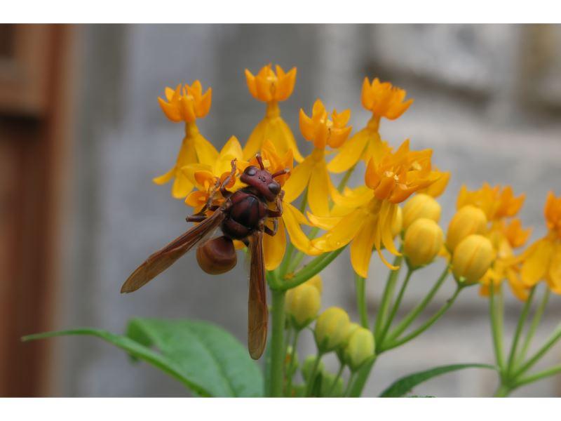 【黃腰虎頭蜂 Vespa affinis】