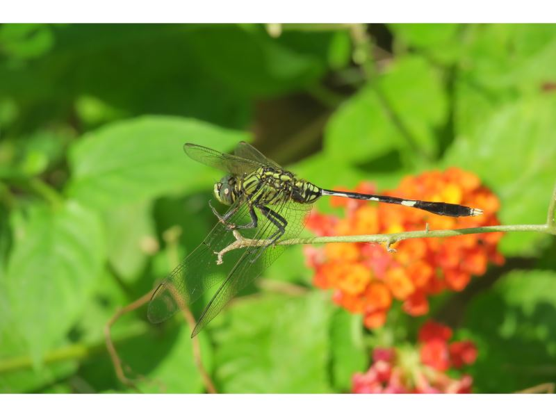 【杜松蜻蜓Orthetrum sabina sabina】