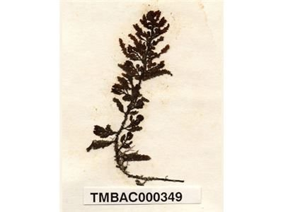 匍枝馬尾藻