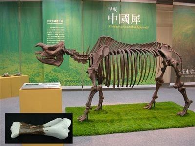 犀化石標本