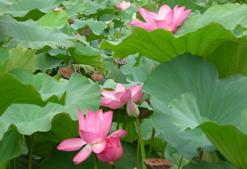 植物園荷花池