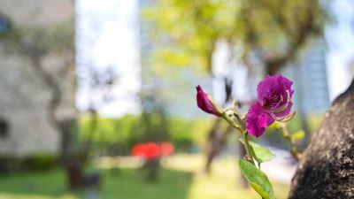 【四季花卉】豔紫荊