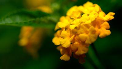 【四季花卉】馬纓丹