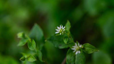 【四季花卉】鵝腸菜