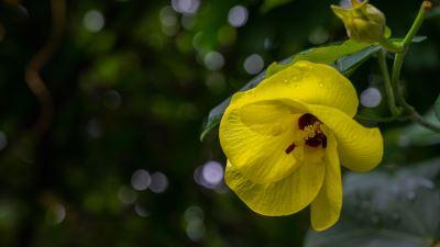 【四季花卉】黃槿2