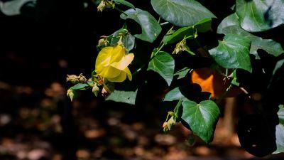 【四季花卉】黃槿1