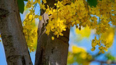 【四季花卉】阿勃勒