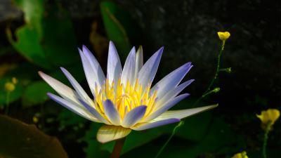 【四季花卉】睡蓮