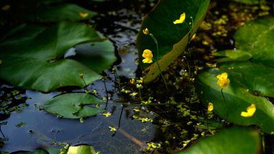 【四季花卉】黄花狸藻